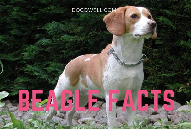 beagle-facts