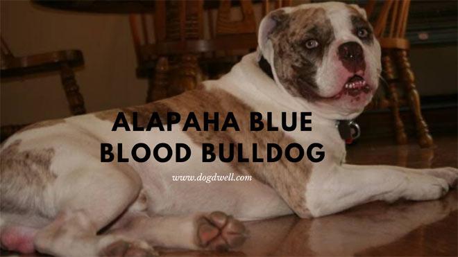 Alapaha-Blue-Blood-Bulldog