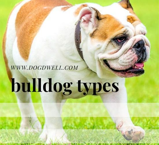 bulldog types