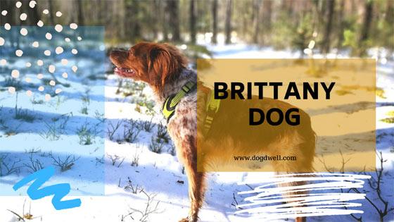 Brittany dog