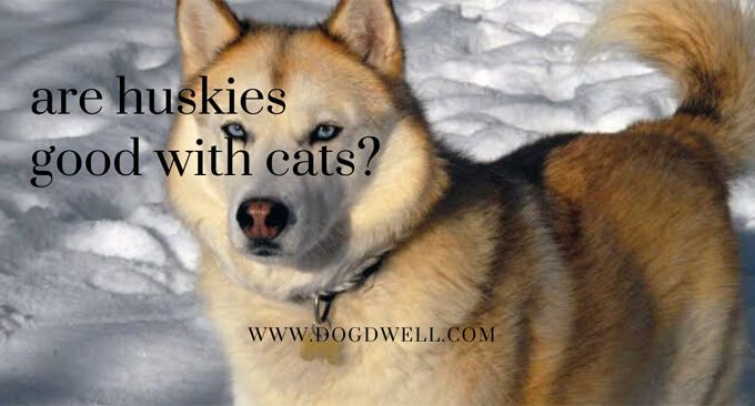 are huskies good with cats