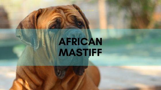 African Mastiff
