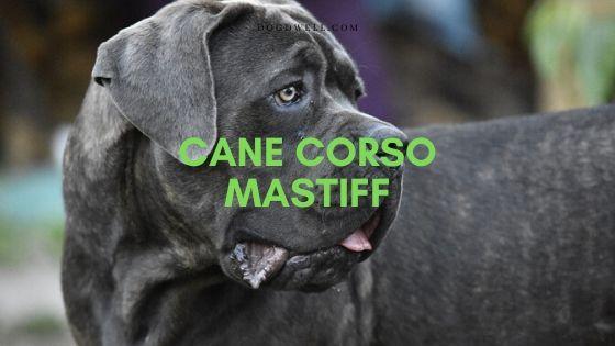 Cane Corso Mastiff