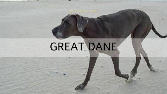 great-dane