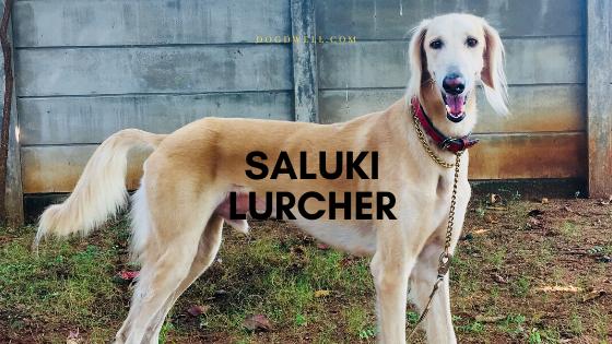 Saluki lurcher