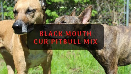 Black Mouth Cur Pitbull Mix