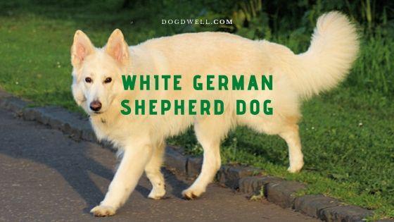 White German Shepherd Dog