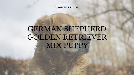 german shepherd golden retriever mix puppy