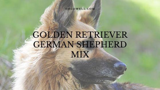 Golden Retriever German Shepherd mix