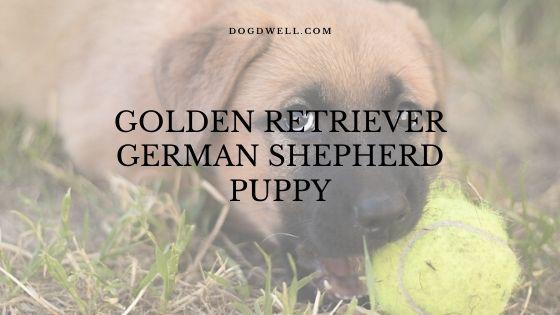 Golden Retriever German Shepherd puppy
