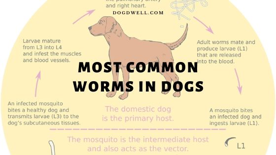 most common worms in dogs