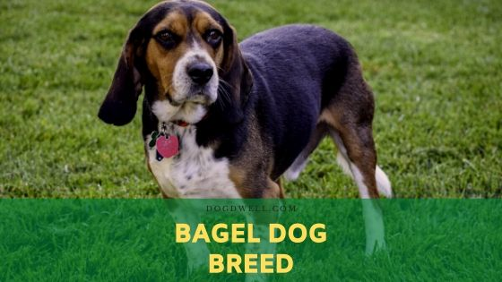 bagel dog breed