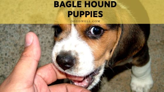 bagle hound puppies
