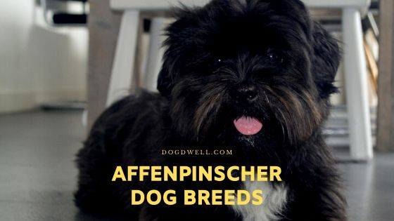 affenpinscher dog breeds