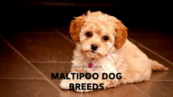maltipoo dog breeds