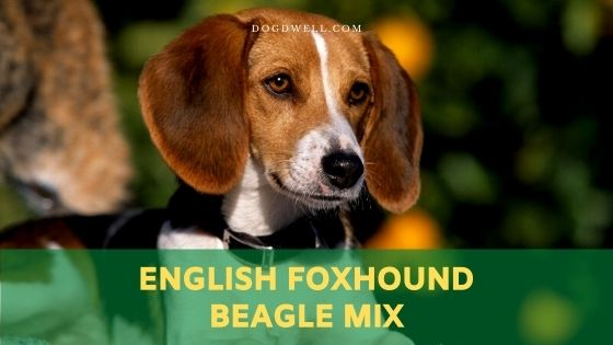 English Foxhound Beagle Mix