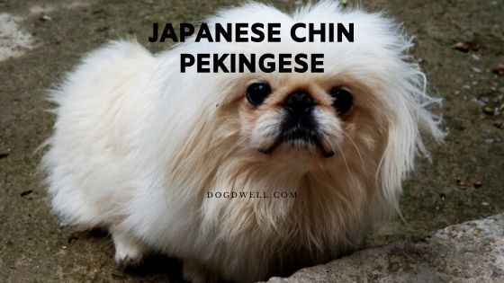 japanese chin pekingese
