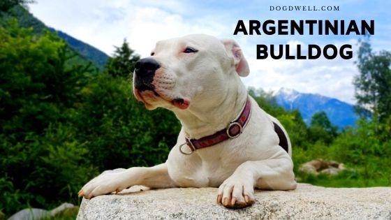 argentinian bulldog