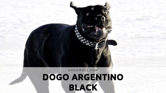 dogo argentino black