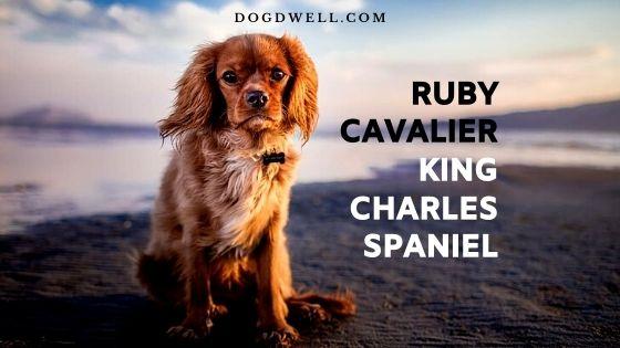 ruby cavalier king charles spaniel