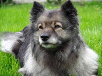 black finnish spitz