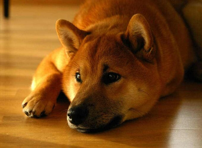 finnish spitz mix