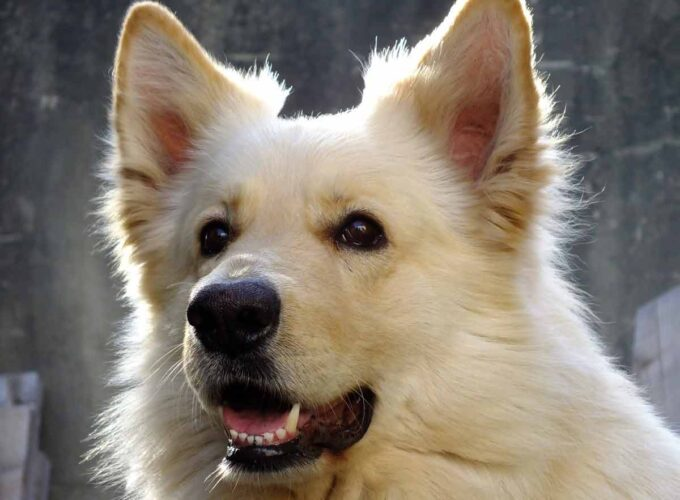 finnish spitz white