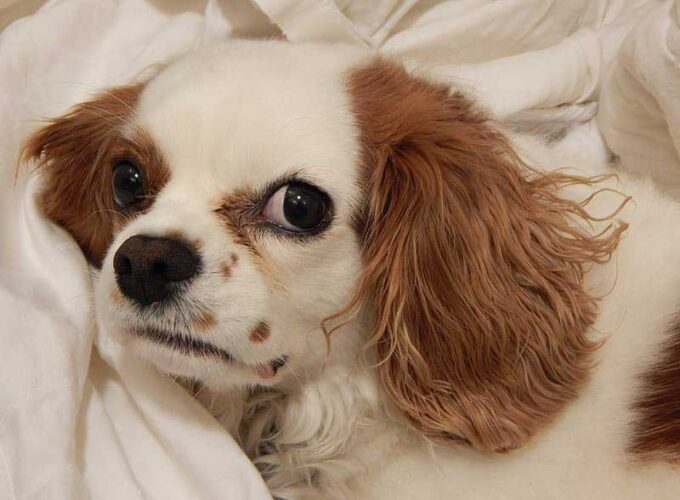 Teacup Cavalier King Charles Spaniel full grown
