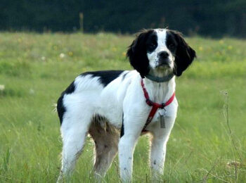 black and white brittany spaniel