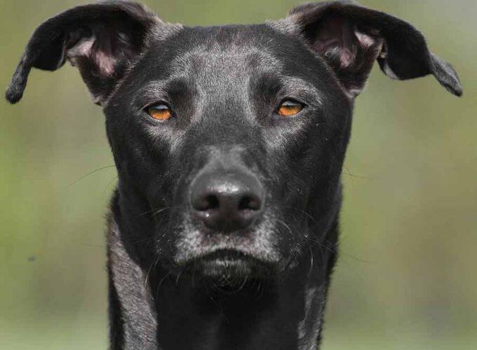 black-ibizan-hound