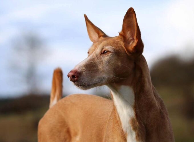 ibizan hound mix ibizan hound pitbull mix ibizan hound lab mix