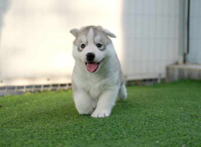 Alusky Puppies