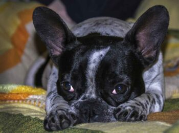 Boston Terrier Poodle