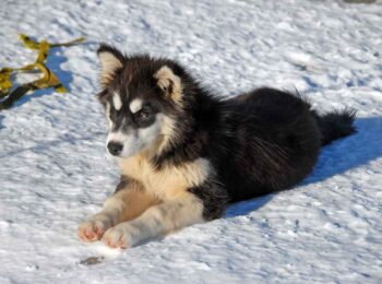 finnish lapphund puppy finnish lapphund for sale finnish lapphund breeders finnish lapphund puppy for sale finnish lapphund puppy price finnish lapphund breeders near me finnish lapphund for sale near me