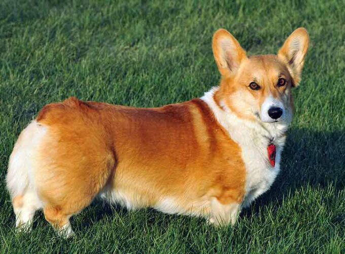 Pembroke Welsh Corgi Dogs