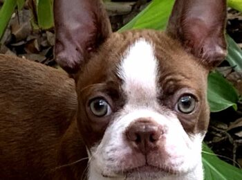 Seal Colored Boston Terrier